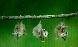 The Little Possums That Could
