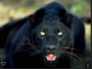 Growled The Black Panther